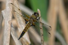 Four-spotted Skimmer Dragonfly - Libellula quadrimaculata. Male Four-spotted Skimmer Dragonfly perched on a dead reed. Carden Alvar Provincial Park, Kawartha Stock Photography
