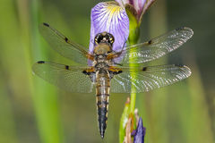 Four-spotted Skimmer Dragonfly Stock Images
