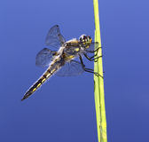 Skimmer Dragonfly (Chaser). A Four-Spotted Skimmer Dragonfly Resting on Grass royalty free stock photo
