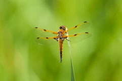 Four-spotted Skimmer Royalty Free Stock Photo