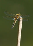 Four Spotted Skimmer - Libellula quadrimaculata Royalty Free Stock Photos
