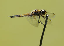 Four Spotted Skimmer - Libellula quadrimaculata Stock Photography