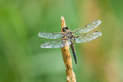 Four-spotted Skimmer. Perched on grass stock image