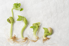 Four sprouts of bean Stock Images