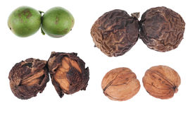 The four stages of maturation of walnut Royalty Free Stock Photos