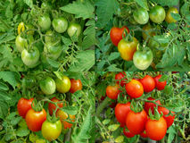 Four stages of tomatoes ripening Stock Photography