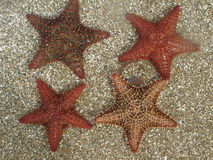 Four Starfish on Caribbean Sand Royalty Free Stock Images