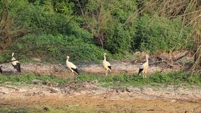 White storks. Four storks on a swampy ground stock video footage