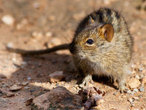 Four Striped Field Mouse in sandy area. Inquisitive little mouse in dry area Royalty Free Stock Images