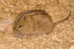 Four striped grass mouse. Common rodent, especially in dense stands of grass; diurnal; reddish-brown coat with distinct longtudianl black stripes on back Stock Photography