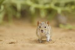 Free Four-striped Grass Mouse - Rhabdomys Pumilio Stock Images - 139605284