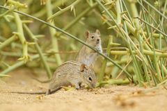 Four-striped Grass Mouse - Rhabdomys pumilio. Beautiful small rodent from African bushes and deserts, Walvis Bay, Namib desert, Namibia stock photo
