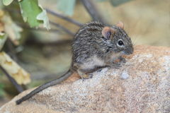 Four-striped grass mouse Royalty Free Stock Photography