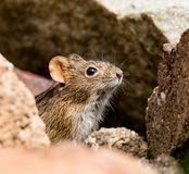 Four-striped Grass Mouse. A Four-striped Grass Mouse in Southern Africa royalty free stock images