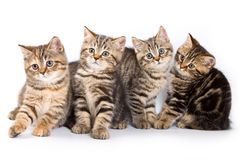 Four striped kitten. Isolated on white royalty free stock photography