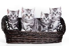 Four striped kitten. Isolated on white royalty free stock image