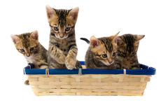 Four striped kitten sitting in a basket. Four kittens in a basket playing Stock Image