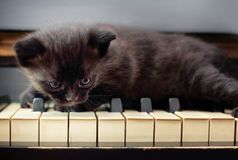 Piano cat. Musician, music. royalty free stock photo
