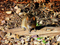 Four-striped mouse in Addo National Park Royalty Free Stock Image