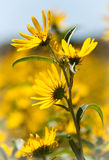 Four Sunflowers Stock Photography