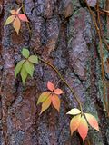 Four sunny red purple yellow green pink autumn leaves on the brown pine bark Stock Photos