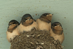 Four Swallows. Four baby swallows in the nest royalty free stock images