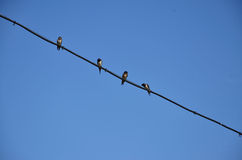 Four swallows are sitting on a wire Royalty Free Stock Images