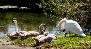 Four swans are chilling near the river Royalty Free Stock Images