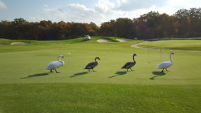 Four swans on the field for a golf. Stock Image