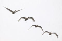 Four Swans Flying. A flock of four endangered Trumpeter Swans (Cygnus buccinator) fly overhead. Some motion blur on wings. Isolated on gray Royalty Free Stock Photos