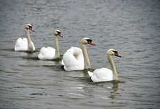 Four swans Stock Photography