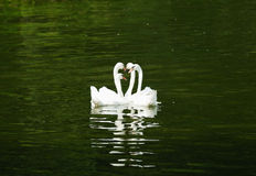 Four swans swimming Stock Photo