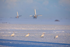 Four swans walking in line in Dutch winter landscape with windmills in background Royalty Free Stock Photos