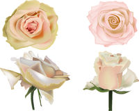 Four tea roses isolated on white Stock Image