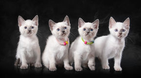Four thai kittens in fog on black background Royalty Free Stock Images