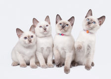 Four thai kittens on white background Stock Images