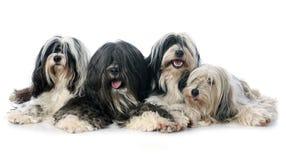 Four Tibetan terrier Stock Photography