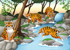 Four tigers living by the river Stock Photo