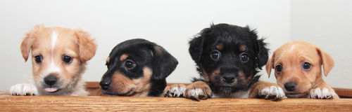 Four Tiny Terrier Puppies Stock Photos