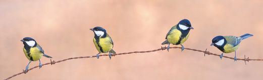 Four tits. Perched on a fence Royalty Free Stock Image