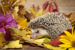 Four-toed Hedgehog African pygmy hedgehog royalty free stock photography