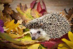 Four-toed Hedgehog African pygmy hedgehog stock photo