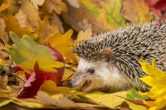 Four-toed Hedgehog African pygmy hedgehog royalty free stock photos