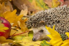 Four-toed Hedgehog African pygmy hedgehog royalty free stock image