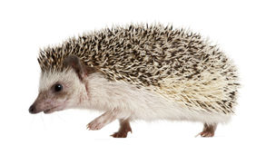 Four-toed Hedgehog, Atelerix albiventris Royalty Free Stock Photos