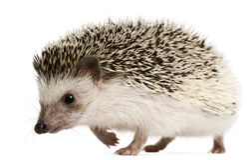 Four-toed Hedgehog, Atelerix albiventris Stock Photos