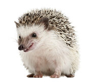 Four-toed Hedgehog, Atelerix albiventris stock images