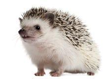 Four-toed Hedgehog, Atelerix albiventris