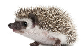 Four-toed Hedgehog, Atelerix albiventris Stock Photography