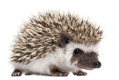 Four-toed Hedgehog, Atelerix albiventris Royalty Free Stock Photo